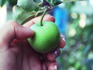 обои Весеннее яблочко в руке фото