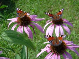 обои Бабочки на лугу фото