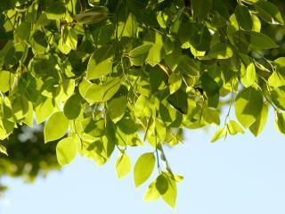 обои Зелёные листья фото