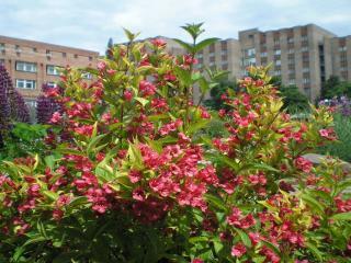 обои Весенний красный куст фото