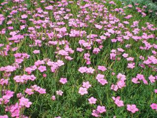 обои Розовые полевые гвоздики фото