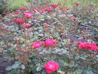 обои Садовые красные розы фото