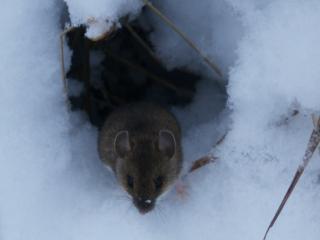 обои Полёвка в снегу фото