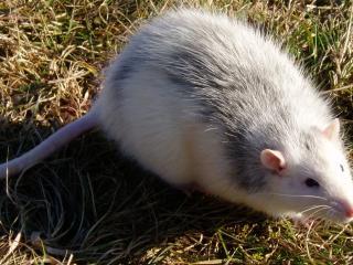 обои Толстая и серая крыса на траве фото