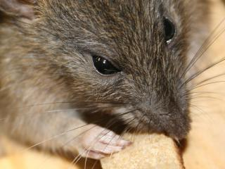 обои Прожорливая крыска с кусочком фото