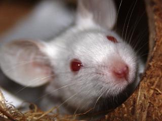 обои Белая мышь в гнезде фото