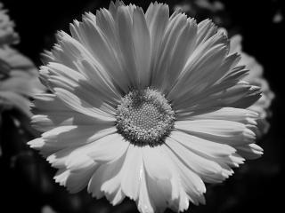 обои Черно-белый цветок фото
