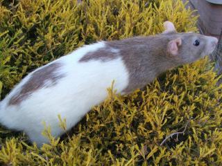 обои Гуляющая крыса на траве фото
