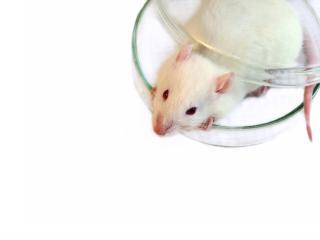 обои Белая крыса в пробнике фото