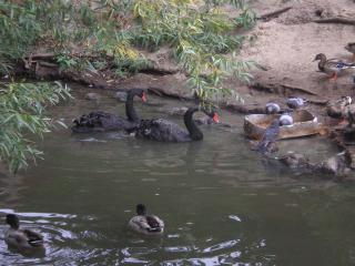 обои Черные лебеди на пруду фото