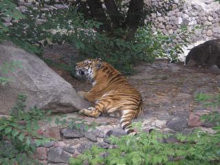 обои Тигр отдыхает у камня фото