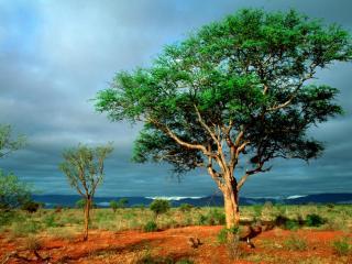 обои для рабочего стола: Дерево в пустыне