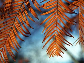обои Пожелтевшие листья рябины фото