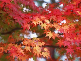 обои Кленовые листья пожелтели фото