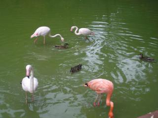 обои для рабочего стола: Белые и розовый фламинго