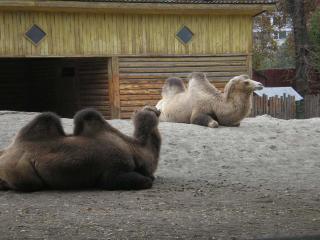 обои Два верблюда обои фото