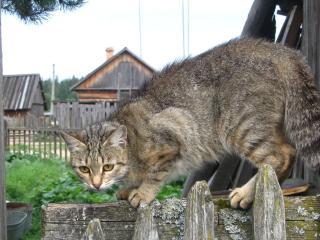 обои Васька на заборе фото