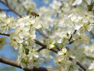 обои Белые цветы на дереве фото
