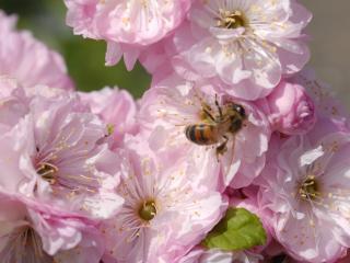 обои для рабочего стола: Пчела и цветок