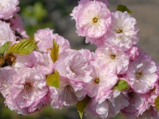 обои Розовые цветки фото