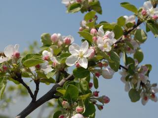 обои для рабочего стола: Ветка яблони