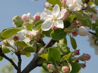 обои Цветы яблони фото