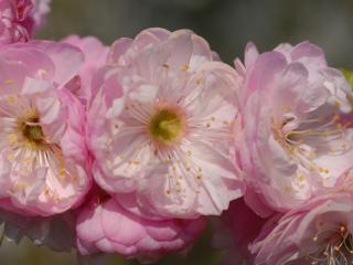 обои Крупные розовые цветы фото