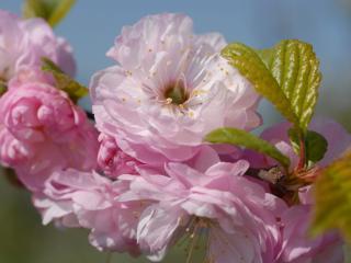 обои Розовые цветы крупным планом фото