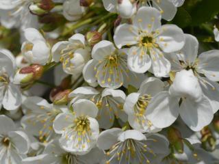 обои Белые цветы крупно фото