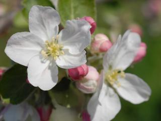 обои Цветы яблони крупно фото