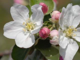 обои Цветы яблони крупным планом фото