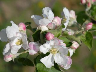 обои Ветви цветущей яблони фото