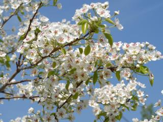 обои Белые цветы на фоне неба фото