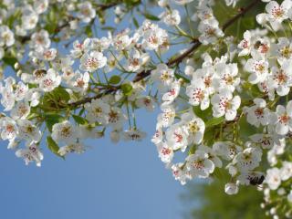 обои Ветвь белых цветов фото