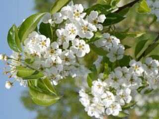 обои Многочисленные цветы дерева фото