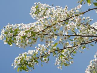 обои Цветущая ветка на фоне синего неба фото
