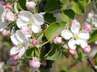 обои для рабочего стола: Бело-розовое цветение