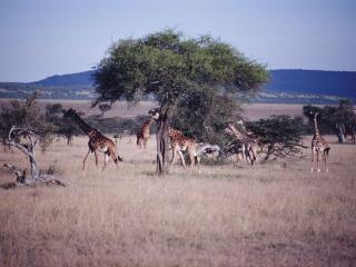 обои Жирафы в саванне фото