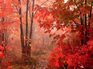 обои Красные листья фото