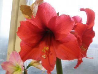 обои Красный цветок фото