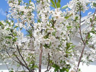обои Аромат садового цветения фото