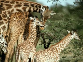 обои Жираф с детенышами африка фото