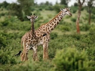 обои Жирафы в среде обитания африка фото