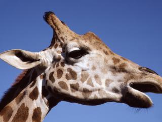 обои Жираф крупным планом голова фото