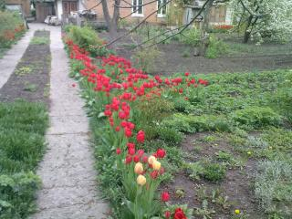 обои Дорожка воль тюльпанов фото