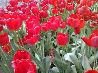 обои Море тюльпанов фото