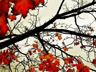 обои Листья клёна (wide scr) фото
