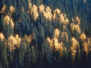 обои Осень в еловом лесу фото