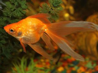 обои Золотая рыбка.... фото