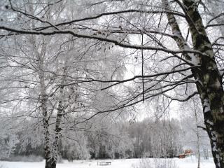 обои Березы зимой фото